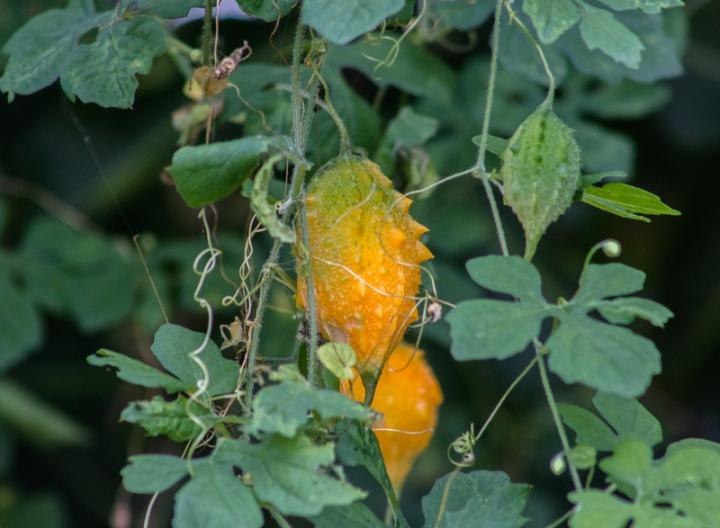 Fruit of invasive vine