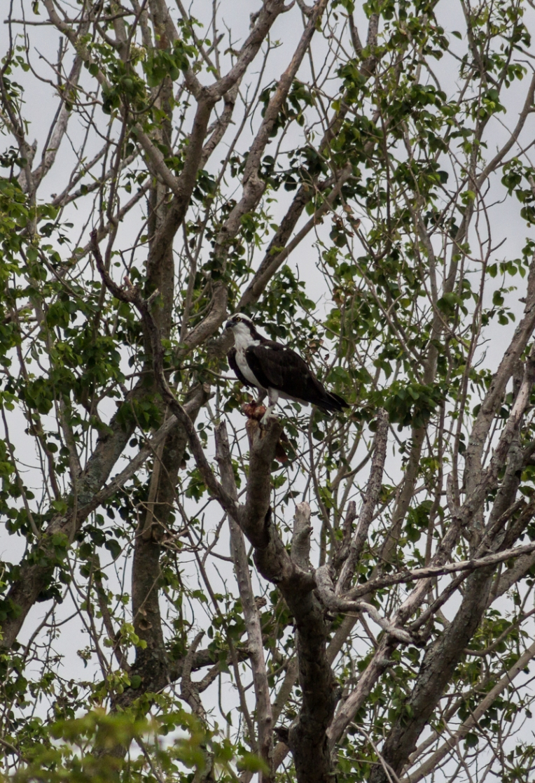 osprey22217