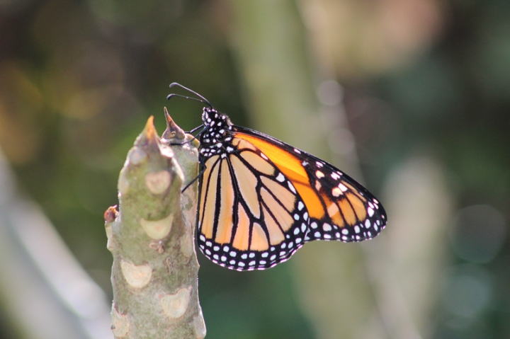 butterflyas