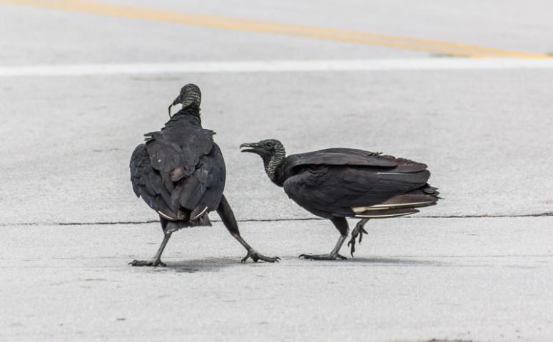 buzzardfight